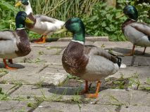 束男性野鸭身分,停留,在前面的一野生野鸭雄鸭 库存图片