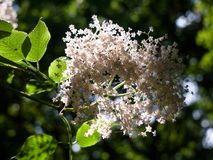 束白色长辈在分支开花上面在lig的森林里 库存照片