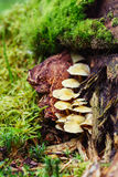 束真菌在老生苔树增长 免版税库存图片