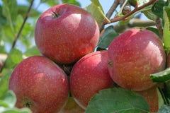 束红色苹果(节目)在树 库存图片