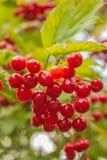 束红色荚莲属的植物 免版税库存图片