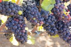 束红葡萄酒葡萄 免版税库存照片