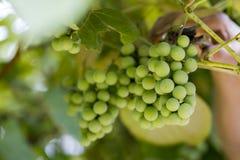 束绿色葡萄,特写镜头 免版税库存图片