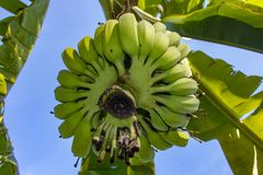 束绿色香蕉在庭院里 库存照片