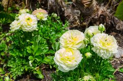 束美丽的可爱的黄色和奶油色毛茛属或毛茛在百年公园,悉尼,澳大利亚开花 库存图片
