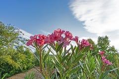 束芬芳甜夹竹桃或夹竹桃的桃红色瓣,开花在绿色叶子和白色云彩生动的天空蔚蓝背景 免版税库存照片