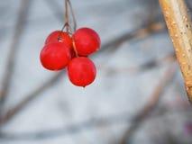 束莓 免版税库存照片