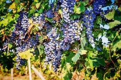 束葡萄红葡萄酒 免版税图库摄影