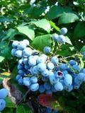 束蓝色莓果在一个夏天早晨 免版税库存照片