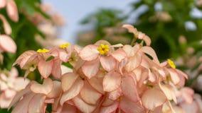 束被弄脏的绿色叶子灌木的桃红色瓣夫人花植物 免版税库存照片