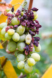 束被损坏的绿色葡萄紧密  图库摄影