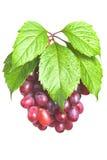 束起与叶子的成熟,新鲜的红葡萄 免版税库存照片