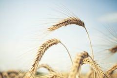 束金黄麦子 库存图片
