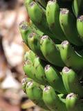 束香蕉 图库摄影