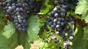 束黑暗的藤葡萄用多彩多姿的未成熟的莓果在葡萄园里 影视素材