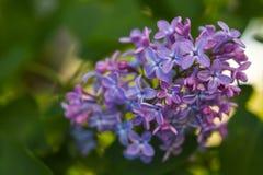 束紫色丁香在春天 免版税库存图片