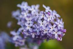 束紫色丁香在春天 免版税库存照片