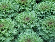束绿色和紫色颜色装饰物圆白菜 免版税库存照片