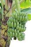 束绿色耕种的香蕉 库存图片