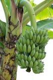束绿色耕种的香蕉 库存照片