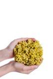 束黄色花在手中 免版税库存照片