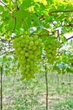 束绿色葡萄果子 免版税库存照片