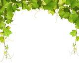 束绿色藤叶子和葡萄树 库存照片