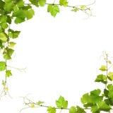 束绿色藤叶子和葡萄树 图库摄影