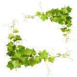 束绿色藤叶子和葡萄树 免版税库存图片