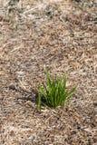 束绿草 生存和繁荣的概念 免版税库存图片