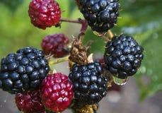束黑莓果子在国内庭院里 库存照片