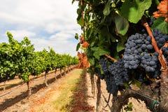 束growning在葡萄园里的葡萄酒 库存图片