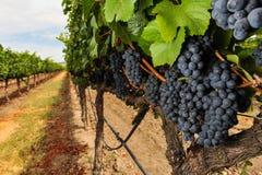 束growning在葡萄园里的葡萄酒 库存照片