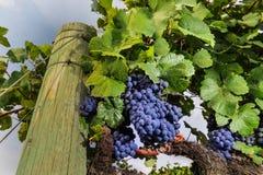束growning在葡萄园里的葡萄酒 免版税库存图片