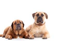 2条公牛驯犬狗看 免版税库存图片