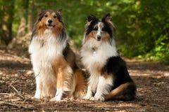 2条博德牧羊犬狗在森林里 免版税库存照片