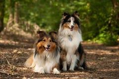 2条博德牧羊犬狗在森林里 图库摄影