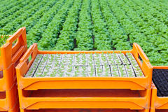 条板箱温室莴苣种植年轻人 免版税库存照片