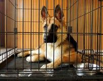 条板箱的年轻德国牧羊犬 免版税库存图片