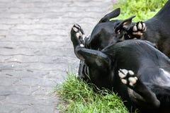 2条狗使用 库存图片