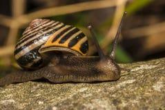 条纹壳蜗牛 免版税库存图片