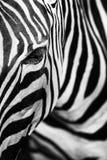 条纹特写镜头在斑马的 库存图片