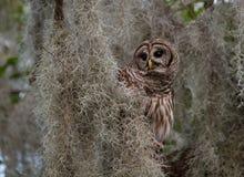 条纹猫头鹰在北佛罗里达 库存图片
