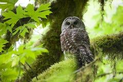 条纹猫头鹰在奥林匹克国家公园 图库摄影