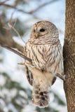 条纹猫头鹰在森林里 免版税库存图片