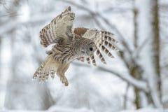 条纹猫头鹰飞行在森林里 库存图片