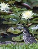 条纹的苍鹭或美洲红树苍鹭 免版税图库摄影