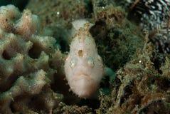 条纹的鳖鱼科之鱼在安汶,马鲁古,印度尼西亚水下的照片 图库摄影