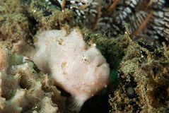 条纹的鳖鱼科之鱼在安汶,马鲁古,印度尼西亚水下的照片 免版税库存图片