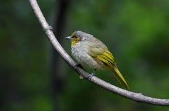 条纹红喉刺莺的歌手Pycnonotus finlaysoni 免版税图库摄影